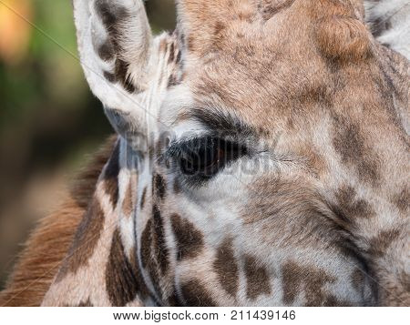 Close-up of a giraffe's head with focus on one eye