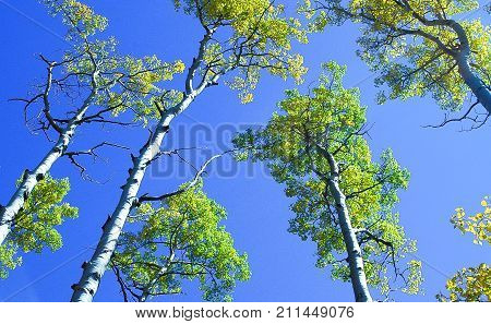Populus tremuloides is a deciduous tree native to cooler areas of North America, one of several species referred to by the common name aspen.