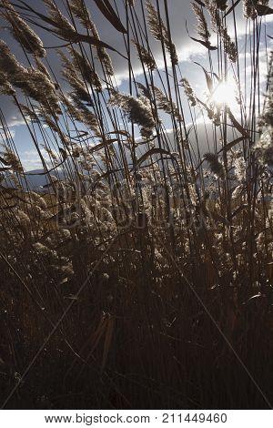 Reeds, Bulrush, Against Cloudy Sky. Autumn Landscape