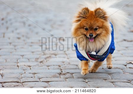 Dress Happy Spitz Runs Along The Street At The Park. Happy Time Or Recreation Concept