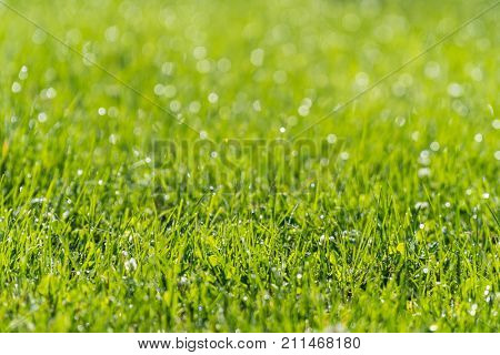 Grass Closeup with Moring Dew Drops in Sunlight, with Shallow Focus.