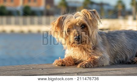 Expressive dog seated. Doggy with curiosity expression doggie. Yorkshire Terrier brown dog warm in the sun. Blurry background of a harbor and the sea