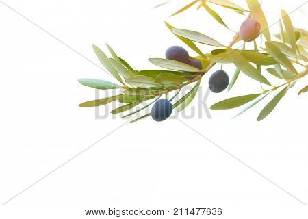 Olive tree branch border isolated on white background, olive oil production, tasty healthy fruits, organic nutrition, photo with copy space, autumn harvest season