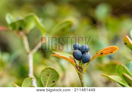 Blue growing berries with leaves at a nice bokeh