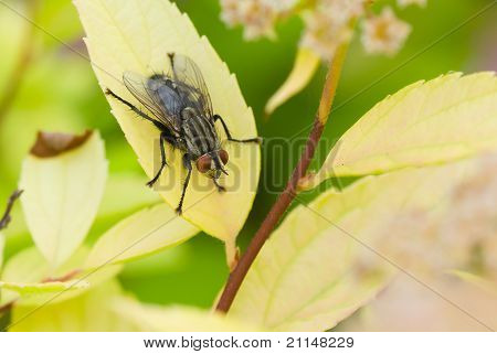 Fly insect on a yellow leaf in a garden. poster