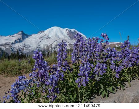 Lupine Bloom Below Mount Rainier