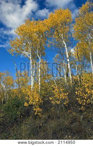Fall Color Trees At Grand Teton