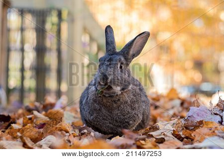 Adorable gray and brown domestic bunny rabbit has a funny face as he munches on fresh leaves in the fall