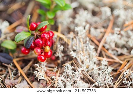 Red berry of cowberry. Close up selective focus