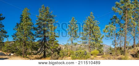 Panorama Of Pine Trees