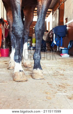 Chestnut horse hoof standing in stable. Indoors colored vertical image. Low point of view.