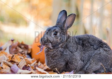 Adorable gray and brown domestic bunny rabbit munches on fresh leaves in the fall