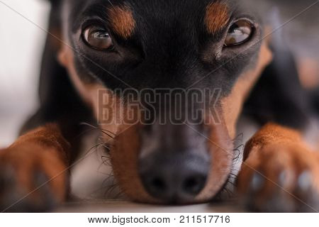 dwarf pinscher in nature. The dog sits on the grass and looks away