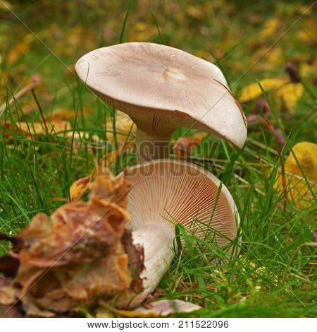 clitocybe nebularis mushroom also known as the cloud agaric and cloud funnel