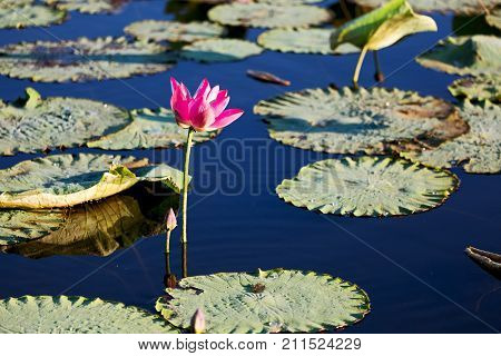 Tranquility In The Pond With Waterlily Aquatic Blossom Flower
