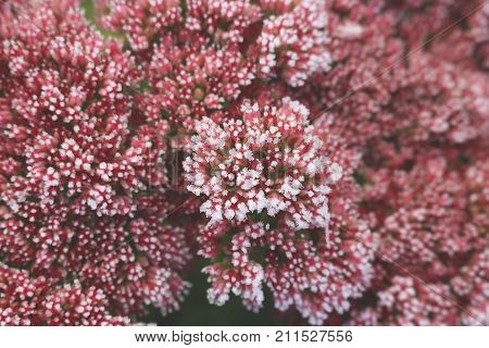 Blossom sedum telephium covered with first hoar frost