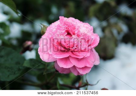 Roses in winter. Pink rose in the snow. Snow on the roses. Flowers in the winter. Roses in the cold. Pink Roses in the winter garden. Caring for garden roses shrubs. Wallpaper for desktop, for calendar
