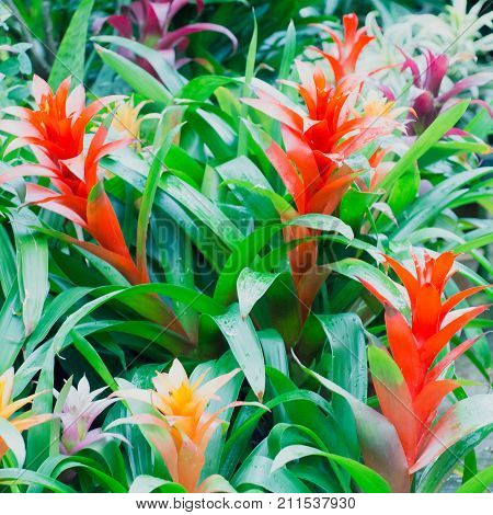 Bromeliaceae Nidularium innocentii flower, beauty color houseplant