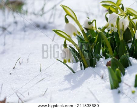 Snowdrop With Blossom