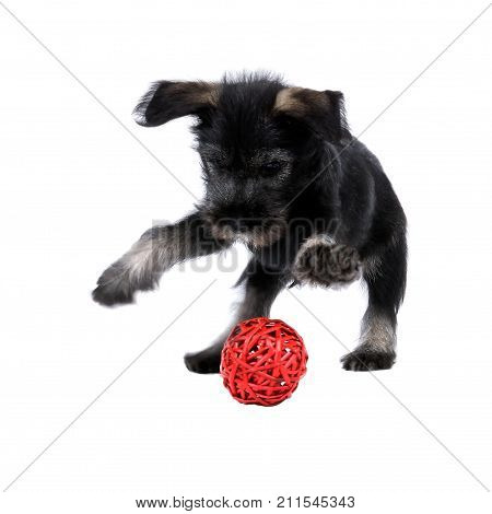 Mittelschnauzer Puppy  Isolated On White Background Is Playing With Red Ball.