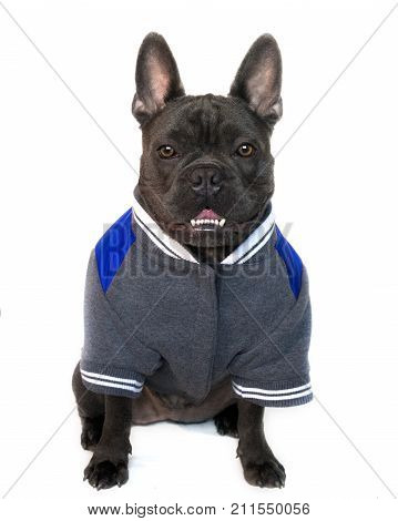 mascot type portrait full body of a blue French bulldog dressed in college high school sports gear on a white isolated background front view eyes looking straight copy space on jacket