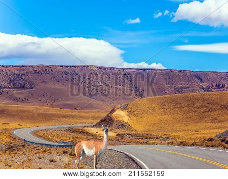 Sharp turn of the road in the Patagonia pampas. Near the road is the lama guanaco. Summer day in February. The concept of active and ecological tourism