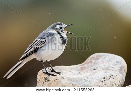 Motacilla alba or White Wagtail tweeting on a rock