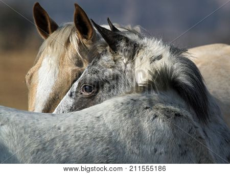 Palmino mare and fluffy appaloosa gelding looking