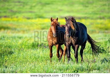 Couple of mustangs or wild horses graze on meadow in Rostov national reserve, Russia