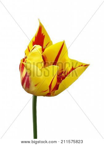 Tulip flower 'Mona Lisa' (stripes or flames of red yellow background ) isolated on white.