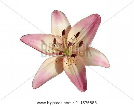 Asiatic hybrid liliy 'Rosella's Dream' pink-white flower isolated on white.