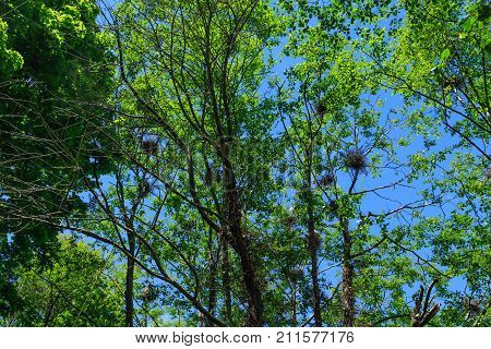Egret nests in trees in the Pacific Northwest