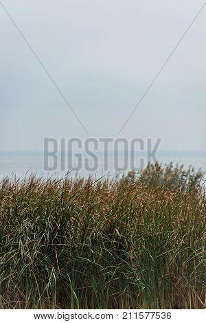 Grassweed