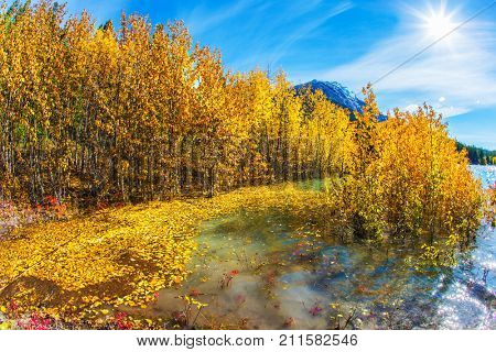 Journey to the Golden Autumn. Rocky Mountains of Canada. Aspen groves are flooded with an artificial Abraham Lake. The concept of active and ecological tourism