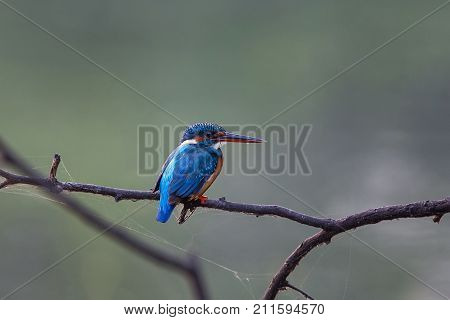 Common Kingfisher (alcedo Atthis) Sitting On A Stick In Keoladeo Ghana National Park,  Bharatpur, In