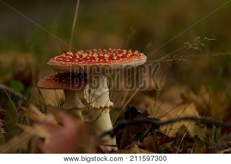 Red Capped Mushrooms