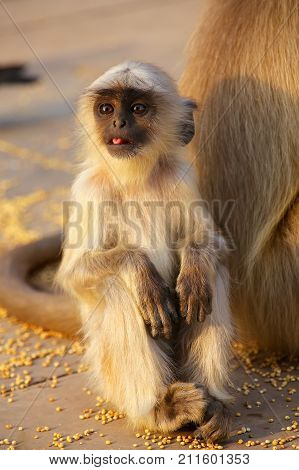 Baby gray langur sitting in Amber Fort near Jaipur Rajasthan India. Gray langurs are the most widespread langurs of South Asia.