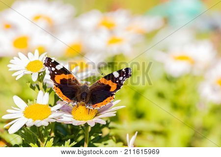 Butterfly With Orange And White Spots On Wings