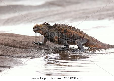 Marine Iguana Getting Out Of The Water On Santiago Island, Galapagos National Park, Ecuador