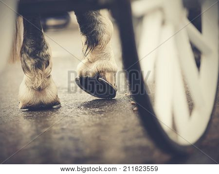 Horse-drawn transport. Hind hoofs with horseshoes of a harnessed horse behind a white wheel of the carriage.