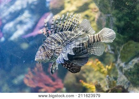 Closeup of a Pterois commonly known as lionfish as seen in aquarium environment