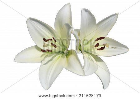 Asiatic hybrid lily 'Apollo' two white flowers isolated on white.