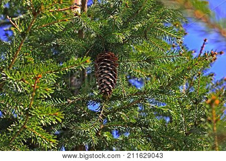 lump hanging on the Christmas tree branches on background of blue sky