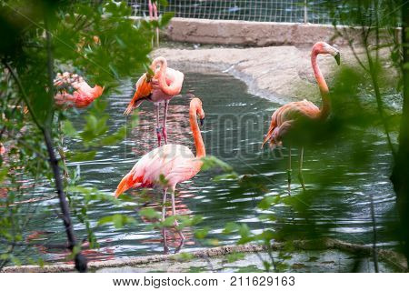 Pair Of Pink Flamigoes With Male Above Female At A Pond
