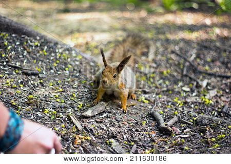 Little Red Squrell Baby In Forest Summer 2017