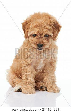 Brown poodle puppy sitting on white background. Isolated small poodle puppy