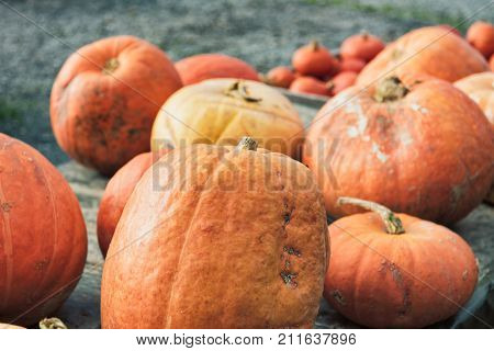 Colorful Pumpkins In Glooming Sunlight At High Resloution
