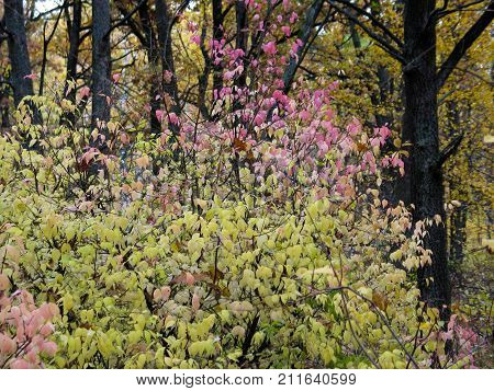 Autumnal bush with pink leaves in the middle of the forest