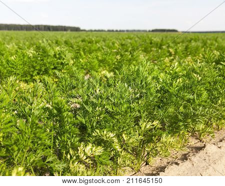 young green carrot tops on an agricultural field, a photo closeup in the summer, a shallow depth of field