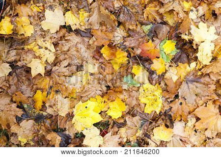bright recently fallen and old rotting foliage of maple and other deciduous trees in autumn, close-up photo, top view